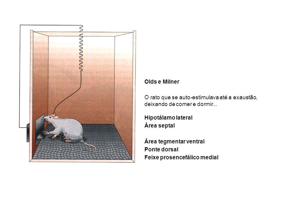 O rato que se auto-estimulava até a exaustão, deixando de comer e dormir... Hipotálamo lateral Área septal Área tegmentar ventral Ponte dorsal Feixe p
