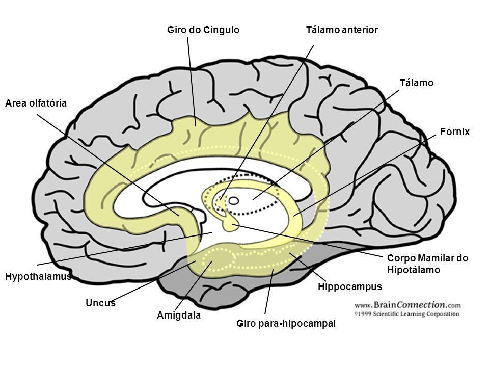 Giro do Cingulo Area olfatória Hypothalamus Uncus Amigdala Giro para-hipocampal Hippocampus Corpo Mamilar do Hipotálamo Fornix Tálamo Tálamo anterior