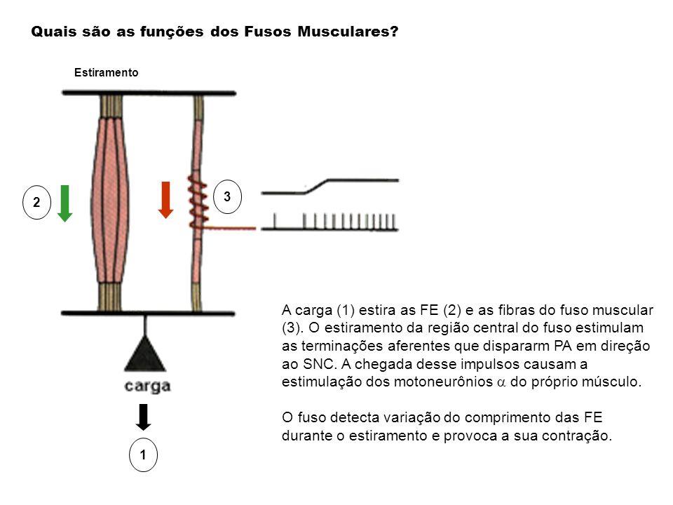 Quais são as funções dos Fusos Musculares? A carga (1) estira as FE (2) e as fibras do fuso muscular (3). O estiramento da região central do fuso esti
