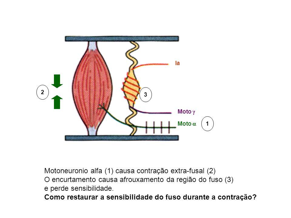 Ia Moto Motoneuronio alfa (1) causa contração extra-fusal (2) O encurtamento causa afrouxamento da região do fuso (3) e perde sensibilidade. Como rest