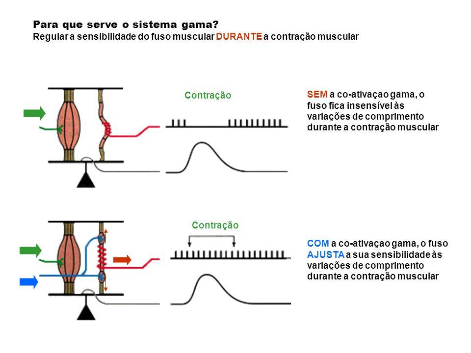 Para que serve o sistema gama? Regular a sensibilidade do fuso muscular DURANTE a contração muscular SEM a co-ativaçao gama, o fuso fica insensível às