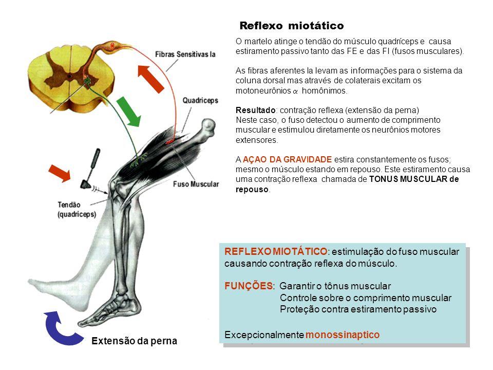Reflexo miotático REFLEXO MIOTÁTICO: estimulação do fuso muscular causando contração reflexa do músculo. FUNÇÕES: Garantir o tônus muscular Controle s
