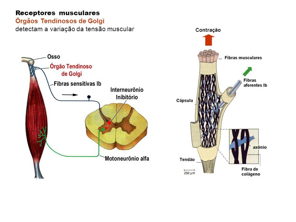 Contração Receptores musculares Órgãos Tendinosos de Golgi detectam a variação da tensão muscular