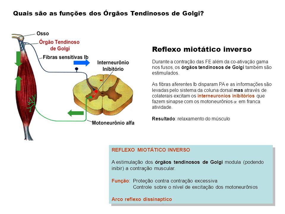 - REFLEXO MIOTÁTICO INVERSO A estimulação dos órgãos tendinosos de Golgi modula (podendo inibir) a contração muscular. Função: Proteção contra contraç