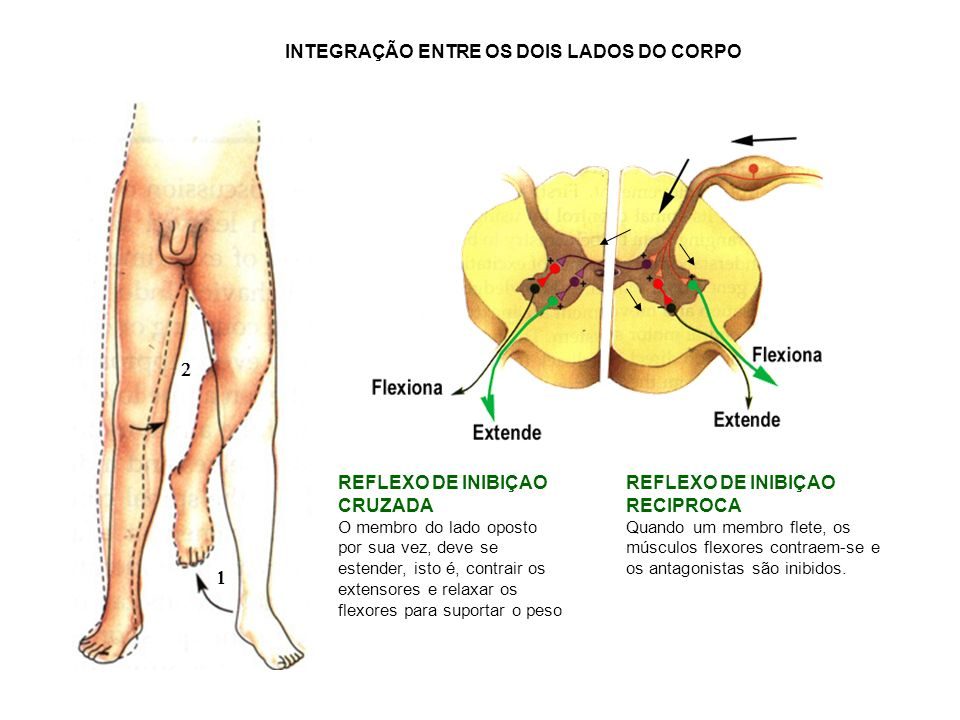 REFLEXO DE INIBIÇAO RECIPROCA Quando um membro flete, os músculos flexores contraem-se e os antagonistas são inibidos. REFLEXO DE INIBIÇAO CRUZADA O m
