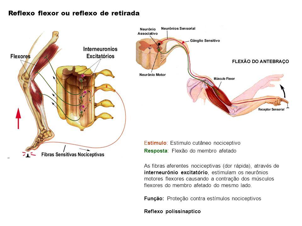 Estimulo: Estimulo cutâneo nociceptivo Resposta: Flexão do membro afetado As fibras aferentes nociceptivas (dor rápida), através de interneurônio exci