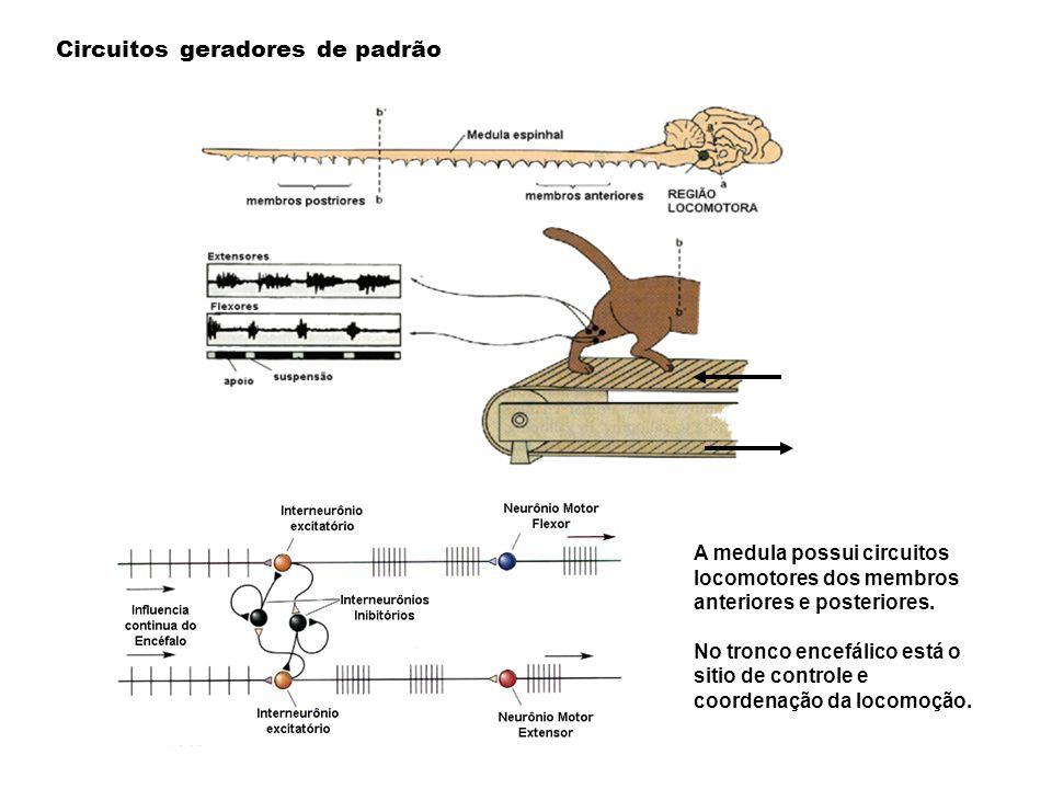 A medula possui circuitos locomotores dos membros anteriores e posteriores. No tronco encefálico está o sitio de controle e coordenação da locomoção.