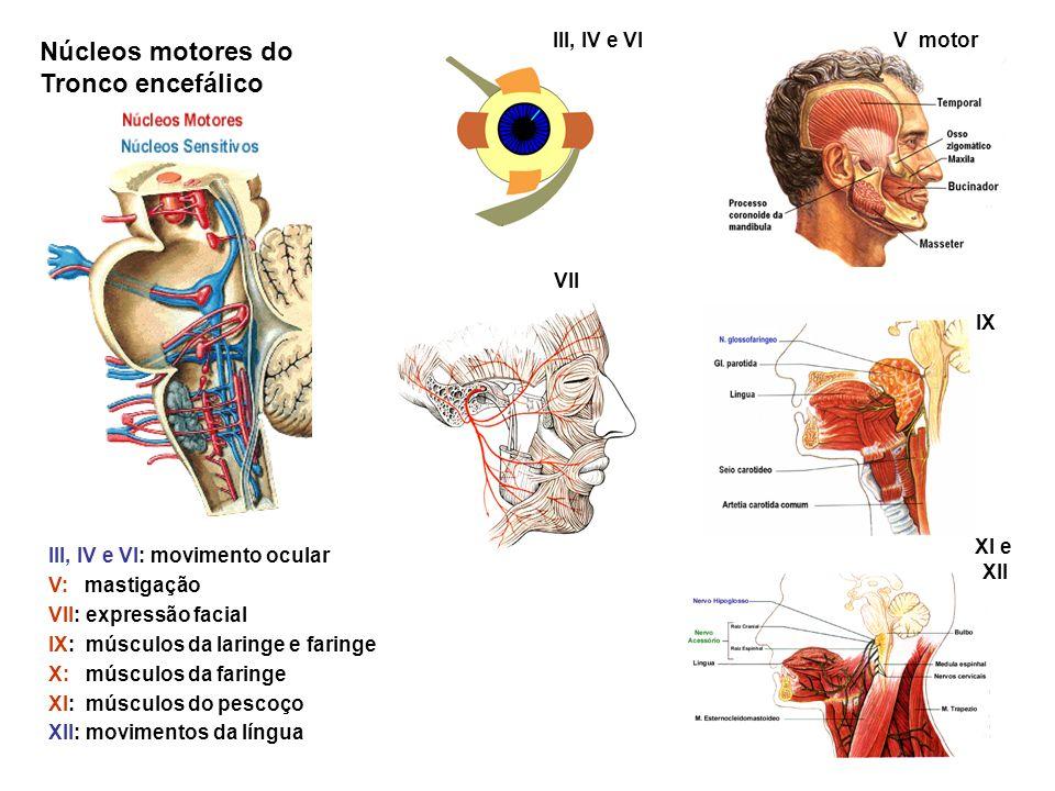 III, IV e VIV motor IX XI e XII VII III, IV e VI: movimento ocular V: mastigação VII: expressão facial IX: músculos da laringe e faringe X: músculos d