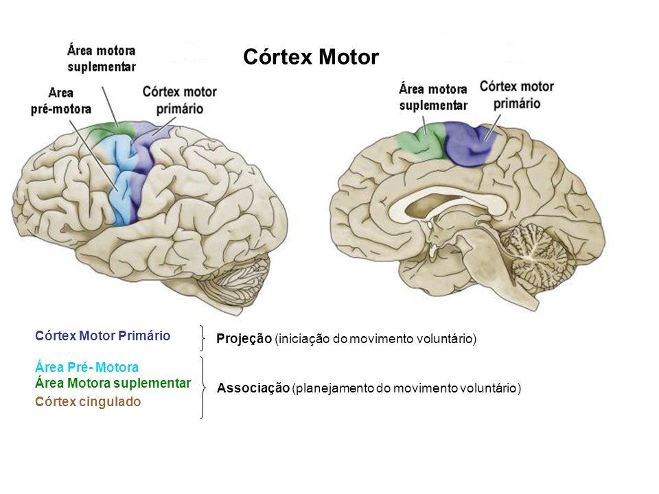 Córtex Motor Projeção (iniciação do movimento voluntário) Córtex Motor Primário Área Pré- Motora Área Motora suplementar Associação (planejamento do m