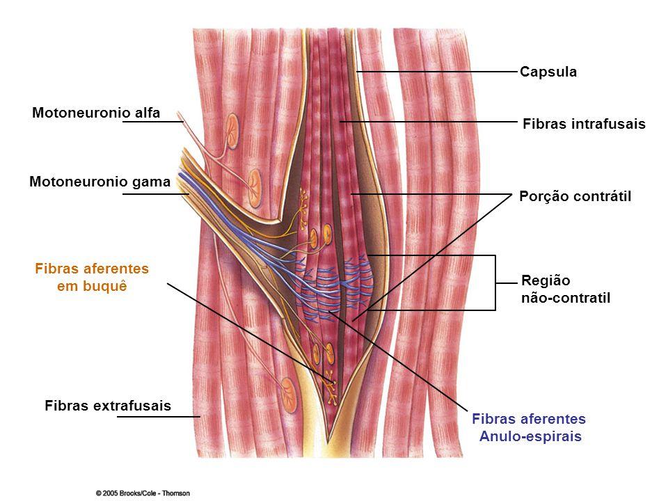 Motoneuronio alfa Fibras aferentes Anulo-espirais Região não-contratil Porção contrátil Fibras intrafusais Capsula Fibras extrafusais Fibras aferentes