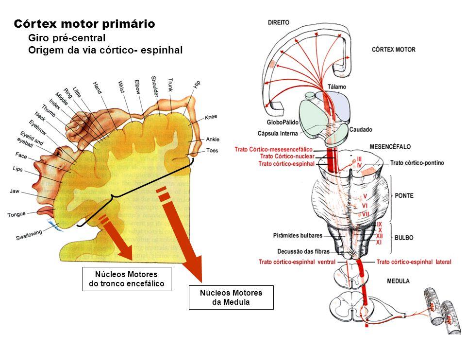 Núcleos Motores do tronco encefálico Núcleos Motores da Medula Córtex motor primário Giro pré-central Origem da via córtico- espinhal