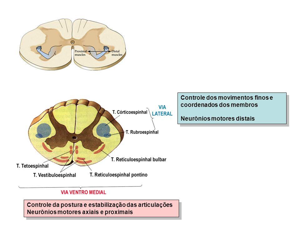 Controle dos movimentos finos e coordenados dos membros Neurônios motores distais Controle dos movimentos finos e coordenados dos membros Neurônios motores distais Controle da postura e estabilização das articulações Neurônios motores axiais e proximais Controle da postura e estabilização das articulações Neurônios motores axiais e proximais