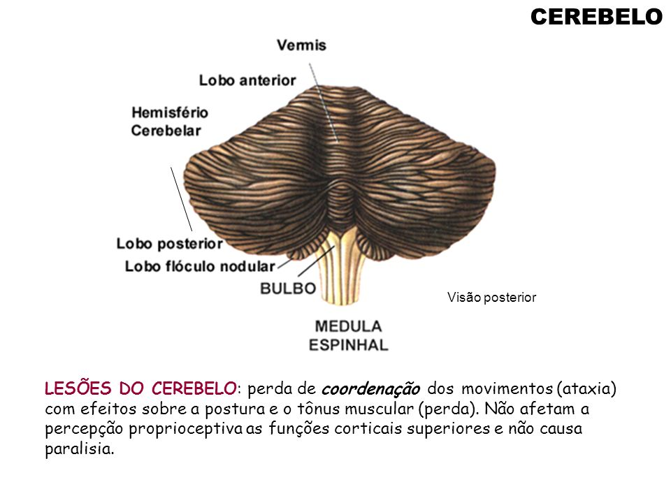 CEREBELO LESÕES DO CEREBELO: perda de coordenação dos movimentos (ataxia) com efeitos sobre a postura e o tônus muscular (perda). Não afetam a percepç