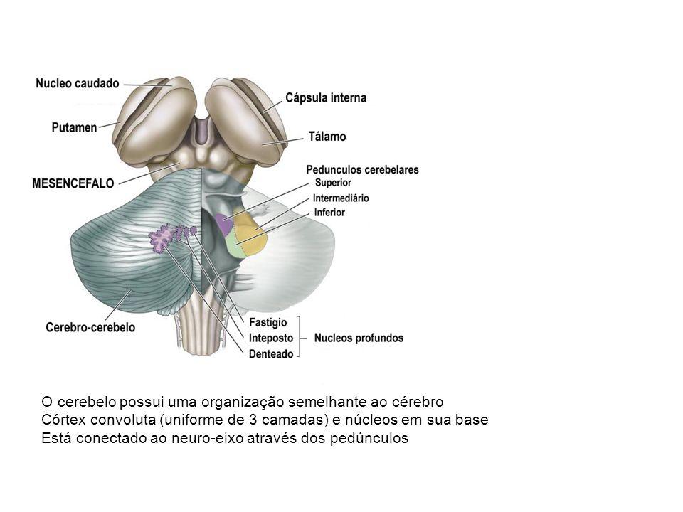 O cerebelo possui uma organização semelhante ao cérebro Córtex convoluta (uniforme de 3 camadas) e núcleos em sua base Está conectado ao neuro-eixo através dos pedúnculos