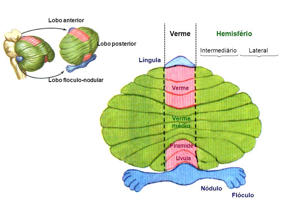 Nódulo Língula Piramide Verme Uvula Flóculo Verme médio Verme Hemisfério Intermediário Lateral Lobo anterior Lobo posterior Lobo floculo-nodular