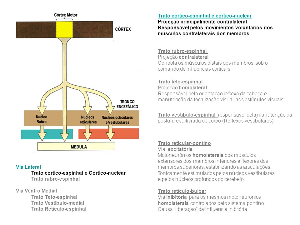 Via Lateral Trato córtico-espinhal e Córtico-nuclear Trato rubro-espinhal Via Ventro Medial Trato Teto-espinhal Trato Vestíbulo-medial Trato Retículo-espinhal Trato rubro-espinhal.