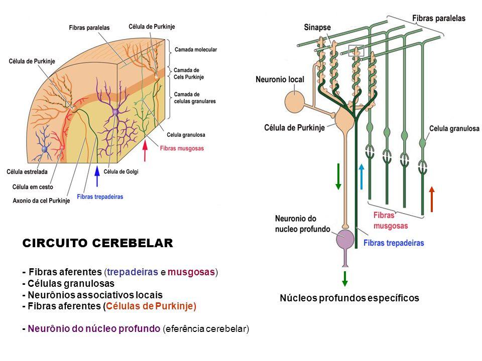 CIRCUITO CEREBELAR - Fibras aferentes (trepadeiras e musgosas) - Células granulosas - Neurônios associativos locais - Fibras aferentes (Células de Purkinje) - Neurônio do núcleo profundo (eferência cerebelar) Núcleos profundos específicos