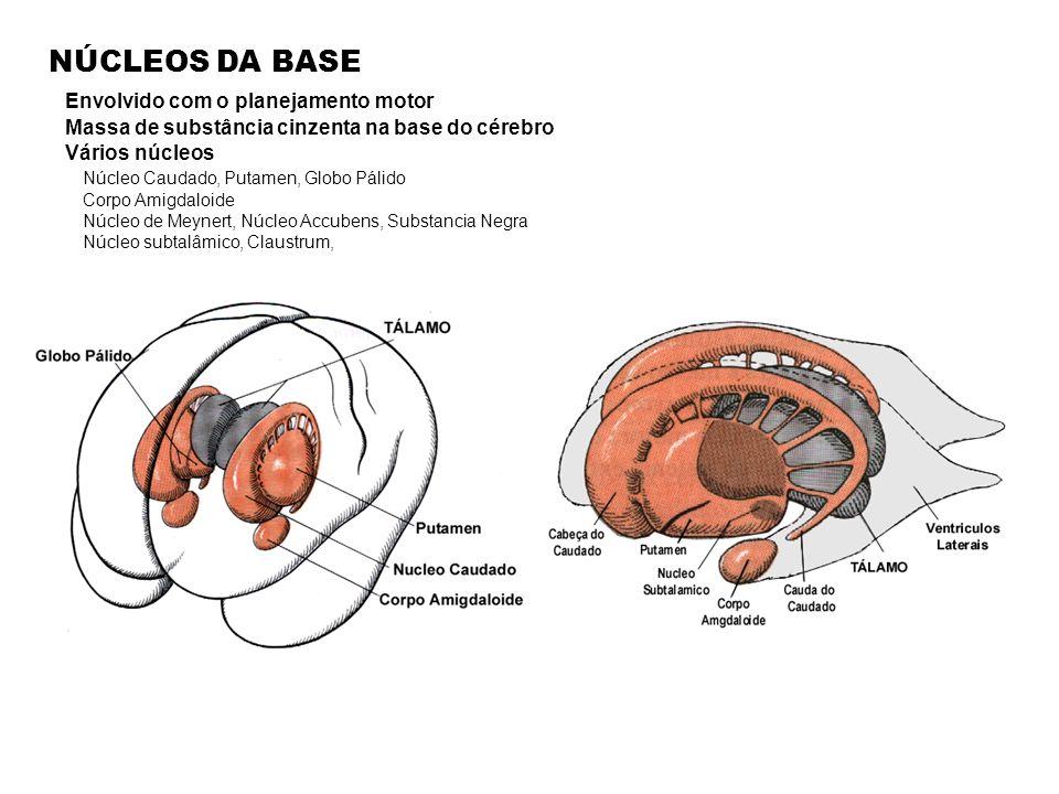 NÚCLEOS DA BASE Envolvido com o planejamento motor Massa de substância cinzenta na base do cérebro Vários núcleos Núcleo Caudado, Putamen, Globo Pálido Corpo Amigdaloide Núcleo de Meynert, Núcleo Accubens, Substancia Negra Núcleo subtalâmico, Claustrum,