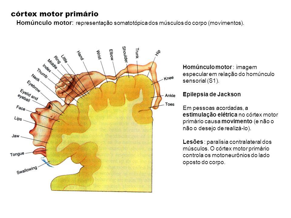 córtex motor primário Homúnculo motor: representação somatotópica dos músculos do corpo (movimentos). Homúnculo motor : imagem especular em relação do