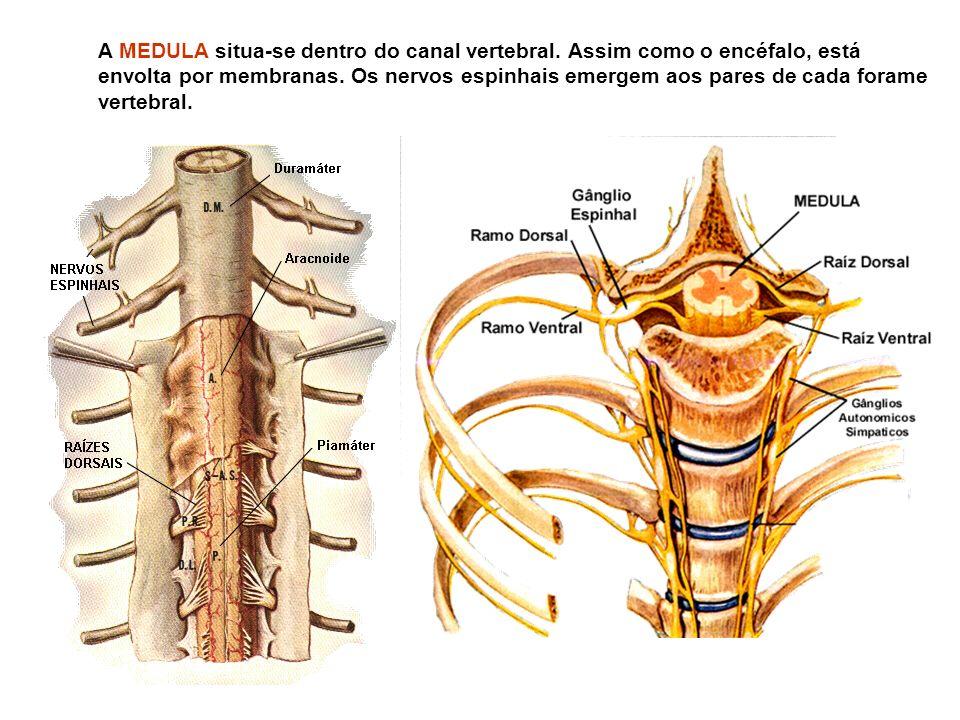 A MEDULA situa-se dentro do canal vertebral.Assim como o encéfalo, está envolta por membranas.