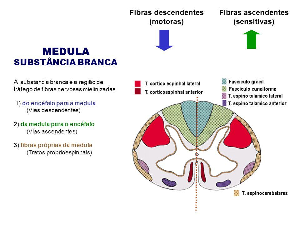 MEDULA SUBSTÂNCIA BRANCA A substancia branca é a região de tráfego de fibras nervosas mielinizadas 1) do encéfalo para a medula (Vias descendentes) 2) da medula para o encéfalo (Vias ascendentes) 3) fibras próprias da medula (Tratos proprioespinhais) Fibras ascendentes (sensitivas) Fibras descendentes (motoras)