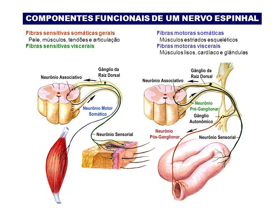COMPONENTES FUNCIONAIS DE UM NERVO ESPINHAL Fibras sensitivas somáticas gerais Pele, músculos, tendões e articulação Fibras sensitivas viscerais Fibras motoras somáticas Músculos estriados esqueléticos Fibras motoras viscerais Músculos lisos, cardíaco e glândulas