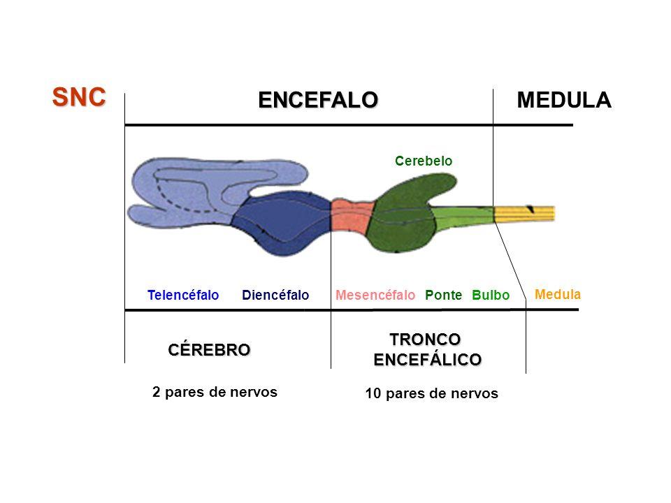 TelencéfaloDiencéfalo TRONCOENCEFÁLICO MesencéfaloPonteBulbo MEDULA CÉREBRO Cerebelo ENCEFALO SNC Medula 2 pares de nervos 10 pares de nervos