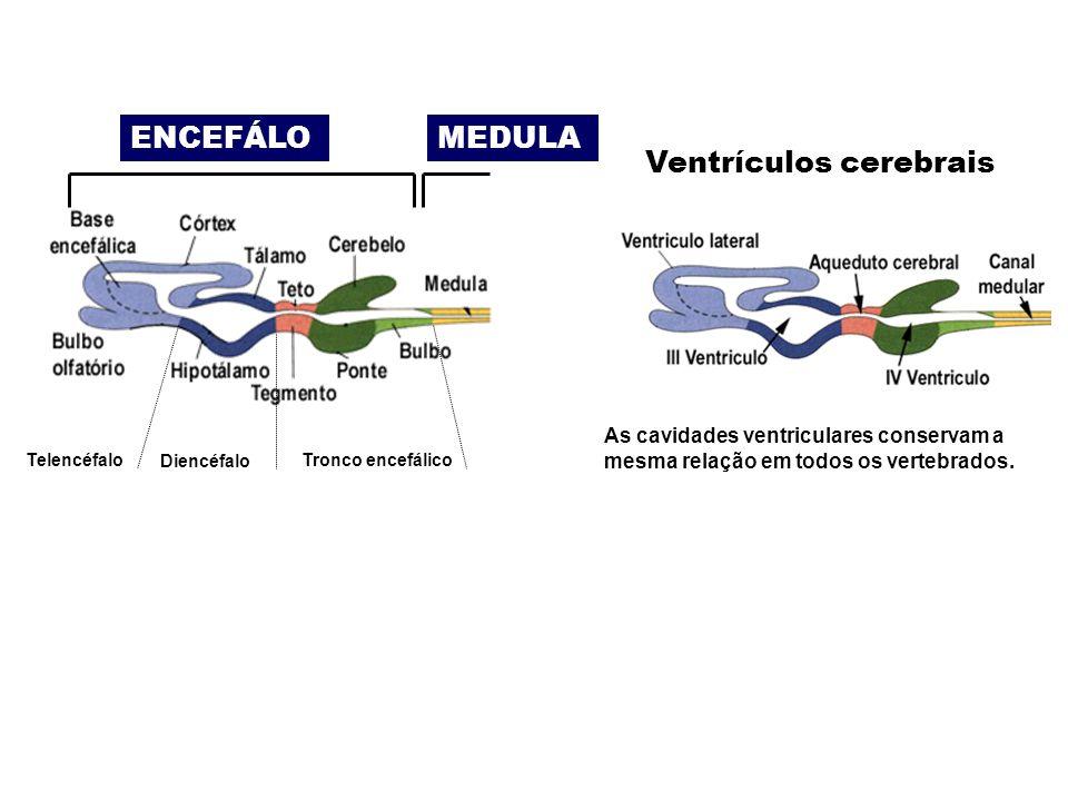 ENCEFÁLOMEDULA Ventrículos cerebrais As cavidades ventriculares conservam a mesma relação em todos os vertebrados.
