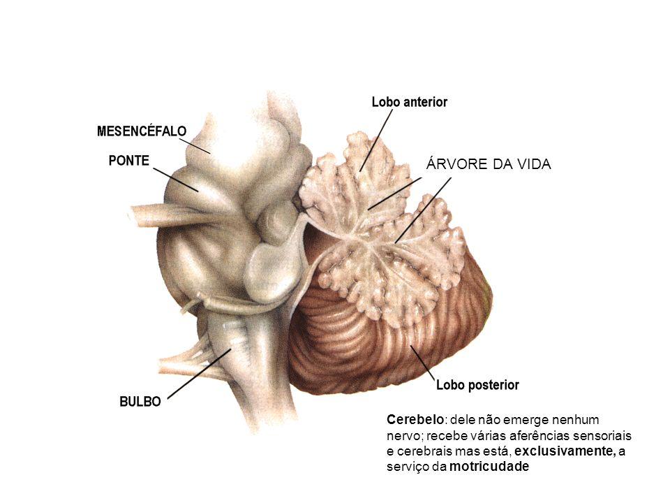 Cerebelo: dele não emerge nenhum nervo; recebe várias aferências sensoriais e cerebrais mas está, exclusivamente, a serviço da motricudade ÁRVORE DA VIDA