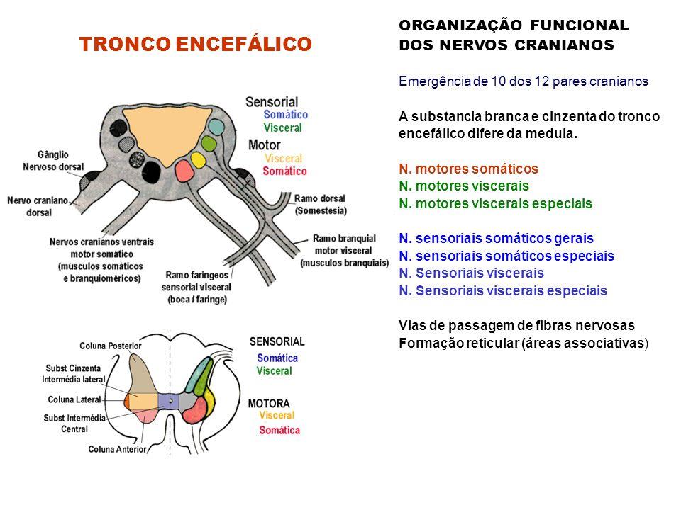 TRONCO ENCEFÁLICO ORGANIZAÇÃO FUNCIONAL DOS NERVOS CRANIANOS Emergência de 10 dos 12 pares cranianos A substancia branca e cinzenta do tronco encefálico difere da medula.