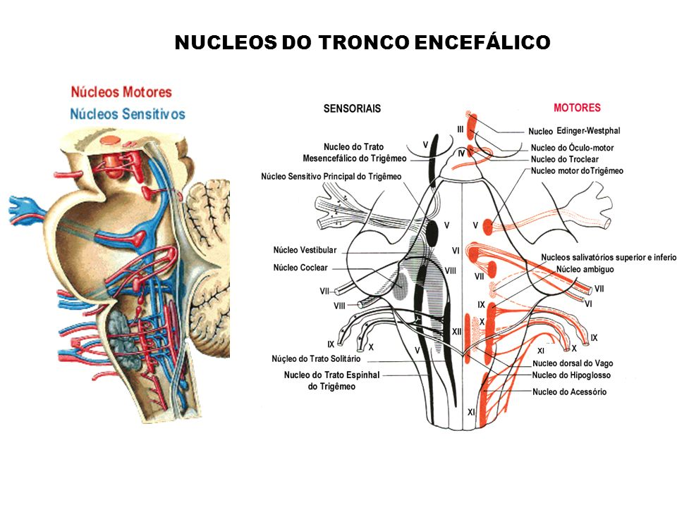 NUCLEOS DO TRONCO ENCEFÁLICO XI