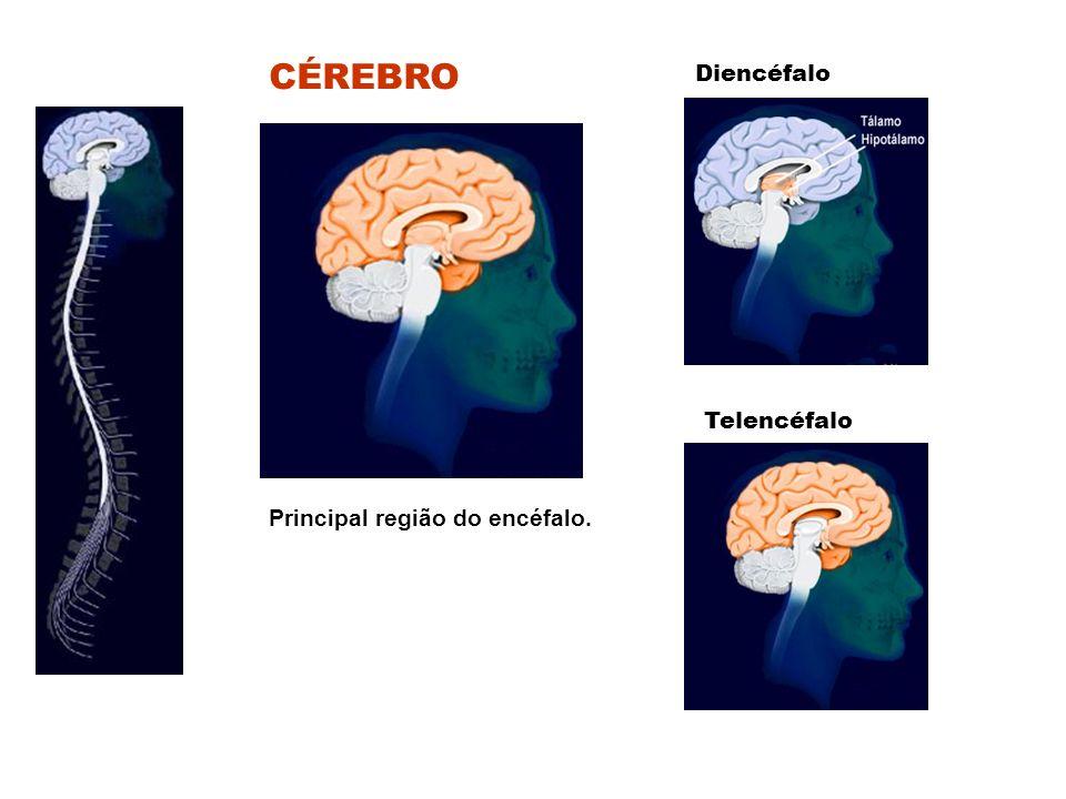 Principal região do encéfalo. CÉREBRO Diencéfalo Telencéfalo