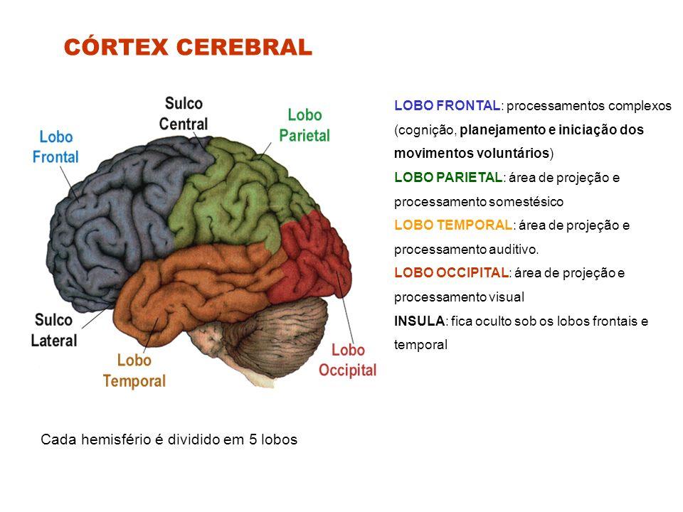 CÓRTEX CEREBRAL Cada hemisfério é dividido em 5 lobos LOBO FRONTAL: processamentos complexos (cognição, planejamento e iniciação dos movimentos voluntários) LOBO PARIETAL: área de projeção e processamento somestésico LOBO TEMPORAL: área de projeção e processamento auditivo.