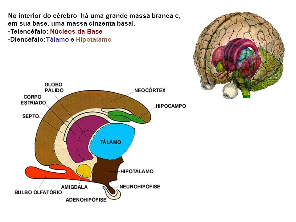 No interior do cérebro há uma grande massa branca e, em sua base, uma massa cinzenta basal.