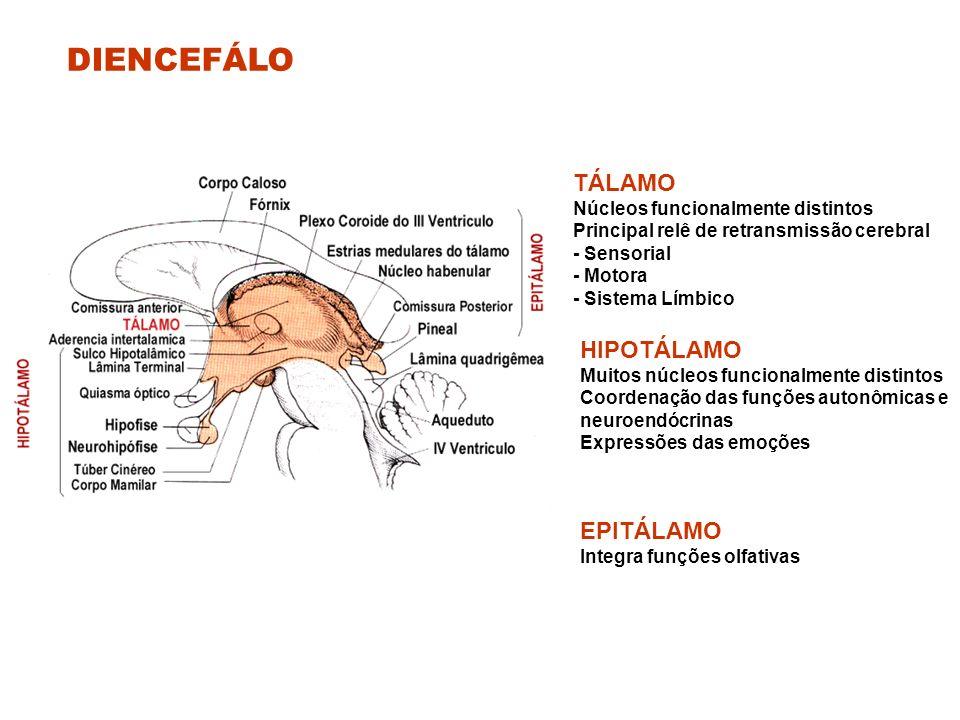 DIENCEFÁLO TÁLAMO Núcleos funcionalmente distintos Principal relê de retransmissão cerebral - Sensorial - Motora - Sistema Límbico HIPOTÁLAMO Muitos núcleos funcionalmente distintos Coordenação das funções autonômicas e neuroendócrinas Expressões das emoções EPITÁLAMO Integra funções olfativas