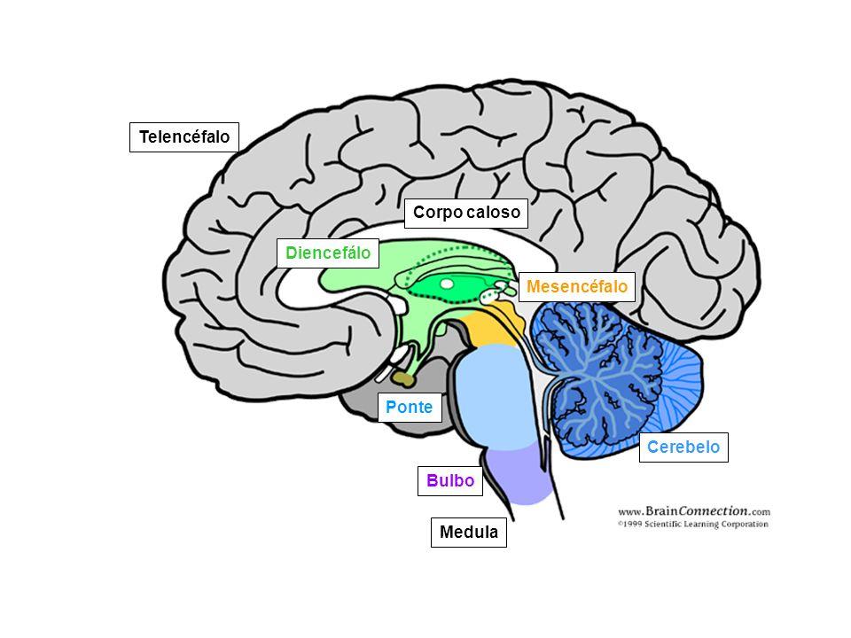 Corpo caloso Diencefálo Mesencéfalo Ponte Bulbo Cerebelo Medula Telencéfalo