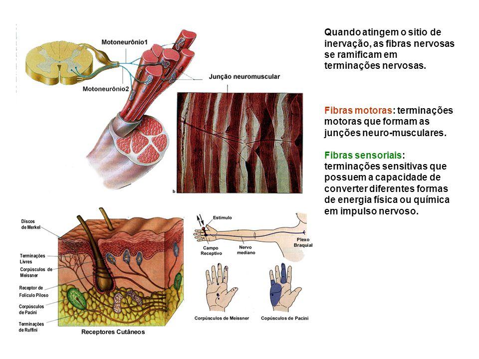 Quando atingem o sitio de inervação, as fibras nervosas se ramificam em terminações nervosas.
