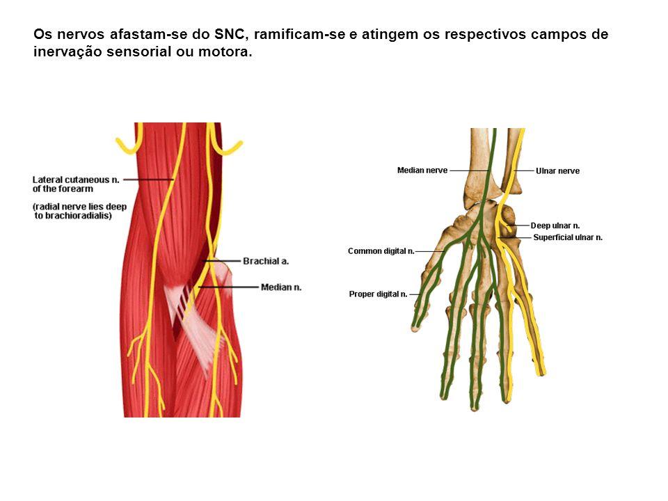 Os nervos afastam-se do SNC, ramificam-se e atingem os respectivos campos de inervação sensorial ou motora.