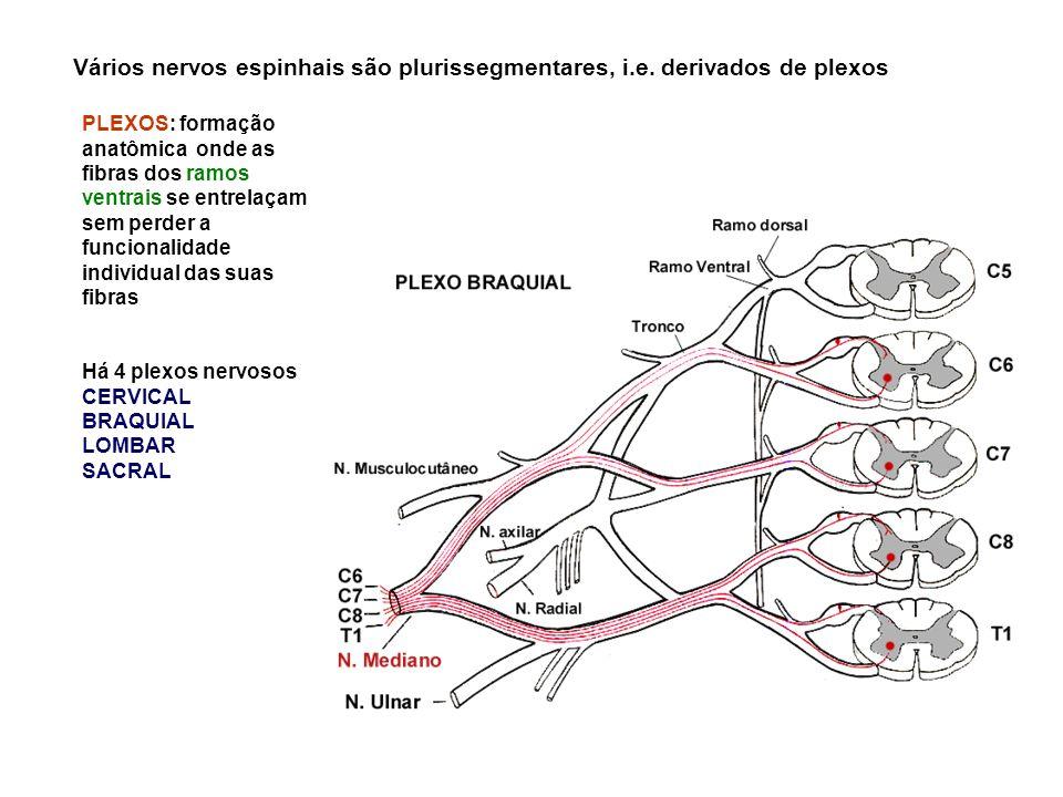 Vários nervos espinhais são plurissegmentares, i.e.