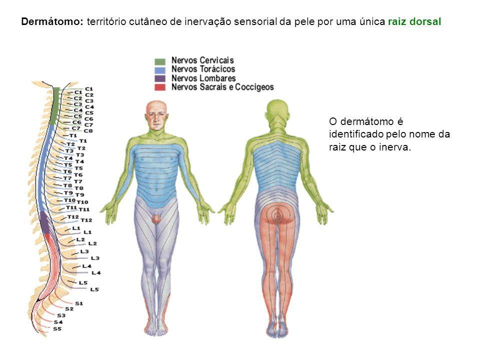 Dermátomo: território cutâneo de inervação sensorial da pele por uma única raiz dorsal O dermátomo é identificado pelo nome da raiz que o inerva.