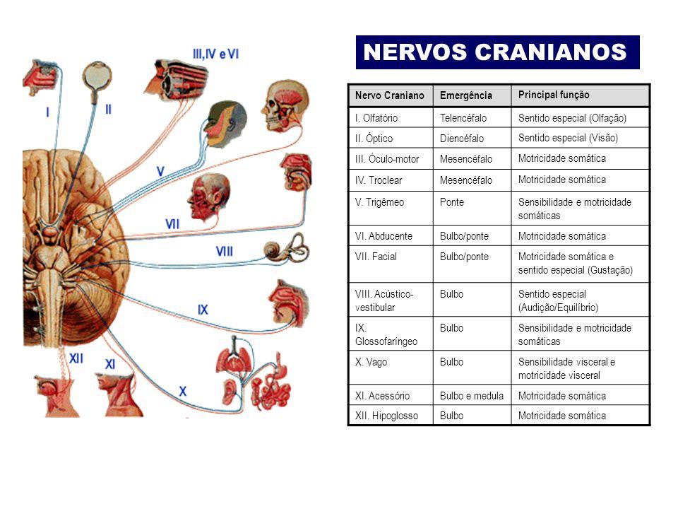 Nervo CranianoEmergênciaPrincipal função I.OlfatórioTelencéfaloSentido especial (Olfação) II.