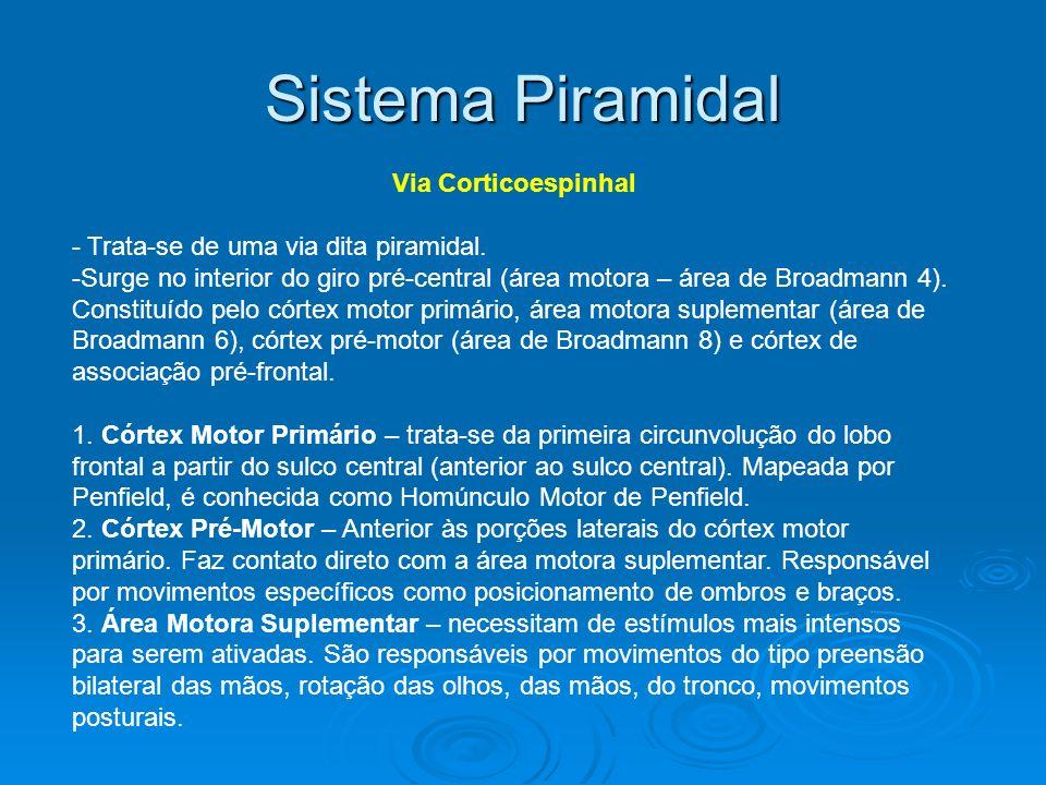 Sistema Piramidal Via Corticoespinhal - Trata-se de uma via dita piramidal. -Surge no interior do giro pré-central (área motora – área de Broadmann 4)