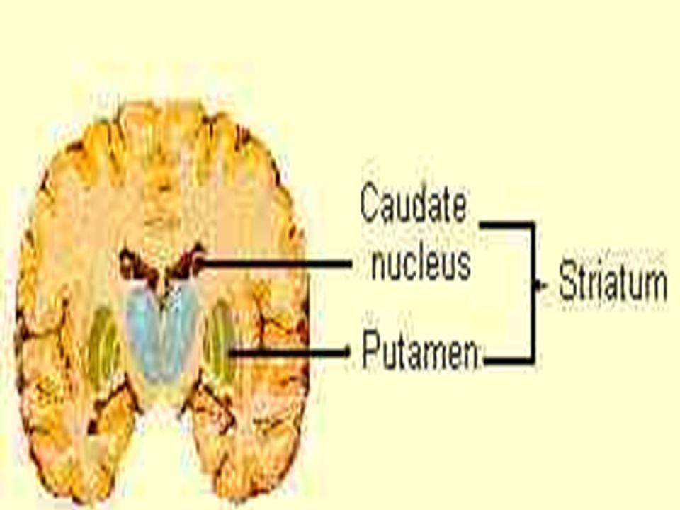 TRATO RETICULO-ESPINAL MEDIAL Se origina no grupo medial dos núcleos reticulares pontinos.