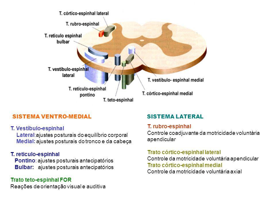T. Vestíbulo-espinhal Lateral:ajustes posturais do equilíbrio corporal Medial: ajustes posturais do tronco e da cabeça T. reticulo-espinhal Pontino: a