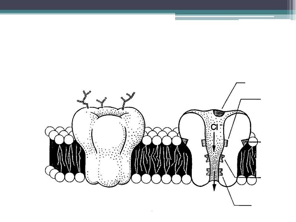 Glutamato É o principal neurotransmissor excitatório Dois grupos de receptores de glutamato: Ionotrópicos: Transmissão sináptica rápida Três subtipos:AMPA, cainato NMDA Metabotrópicos: Transmissão sináptica lenta Acoplados a proteína G, regulam os segundos mensageiros (AMPc e fosfolipase C).
