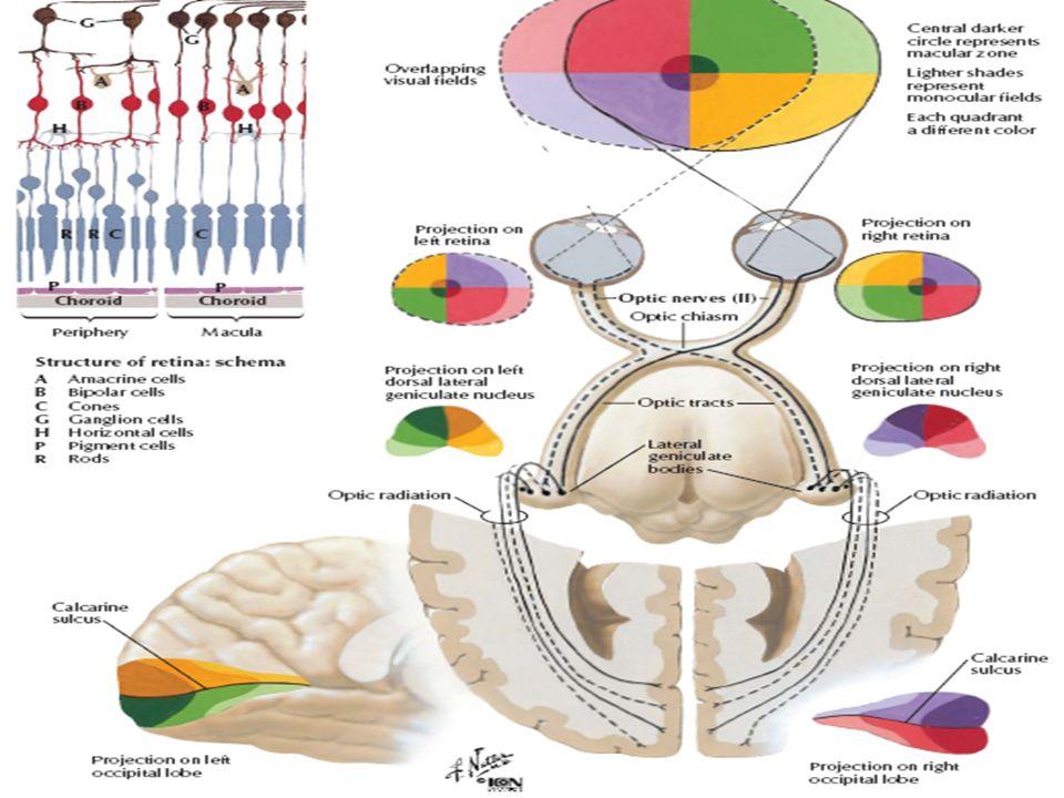 II – Nervo óptico