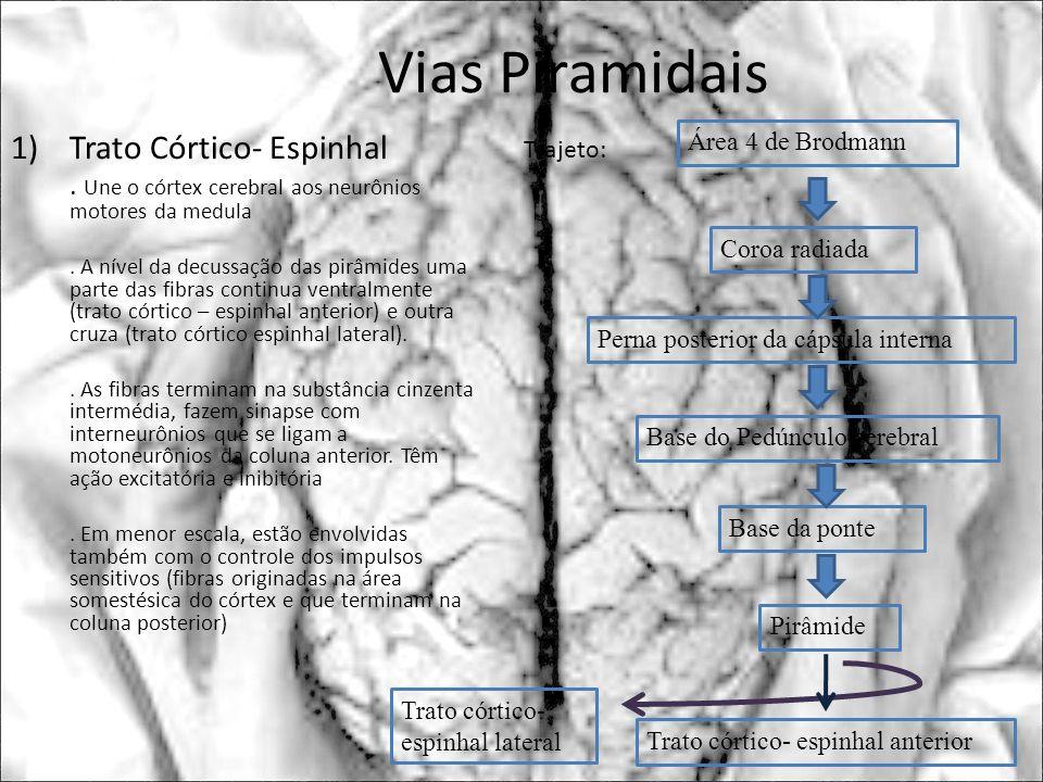 Vias Piramidais 1)Trato Córtico- Espinhal. Une o córtex cerebral aos neurônios motores da medula. A nível da decussação das pirâmides uma parte das fi
