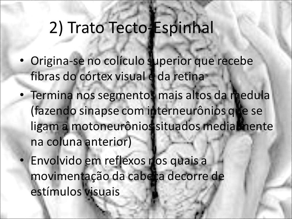 2) Trato Tecto-Espinhal Origina-se no colículo superior que recebe fibras do córtex visual e da retina Termina nos segmentos mais altos da medula (faz