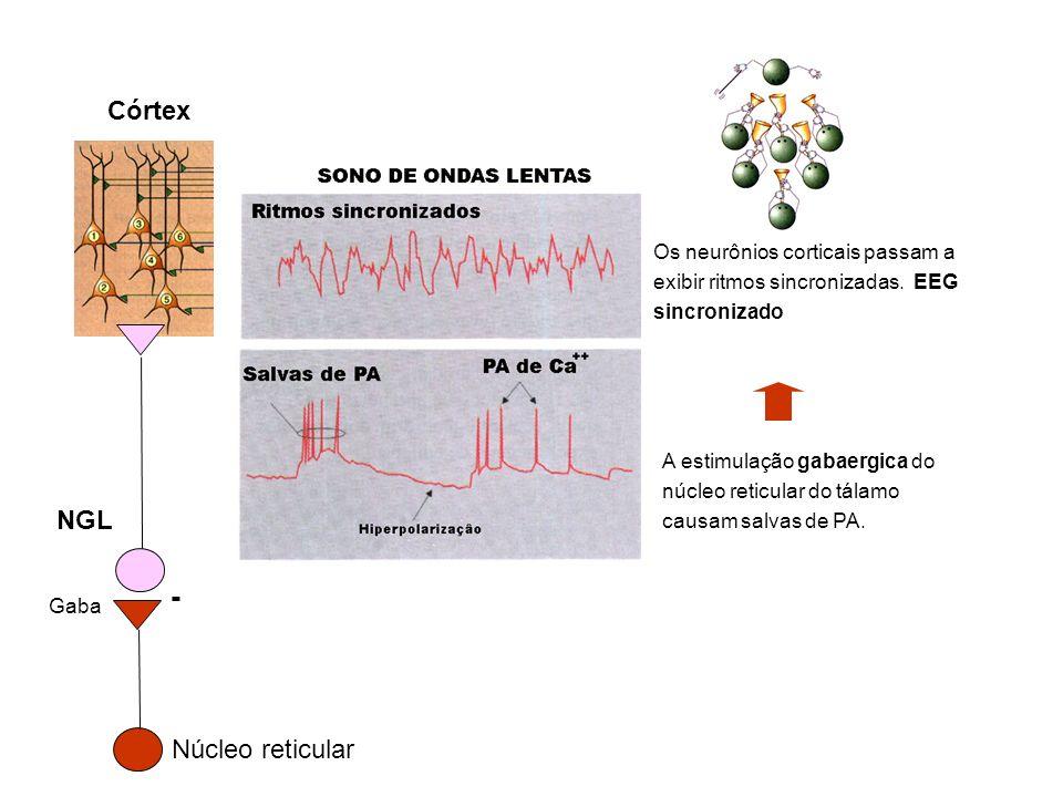 A estimulação gabaergica do núcleo reticular do tálamo causam salvas de PA. Os neurônios corticais passam a exibir ritmos sincronizadas. EEG sincroniz