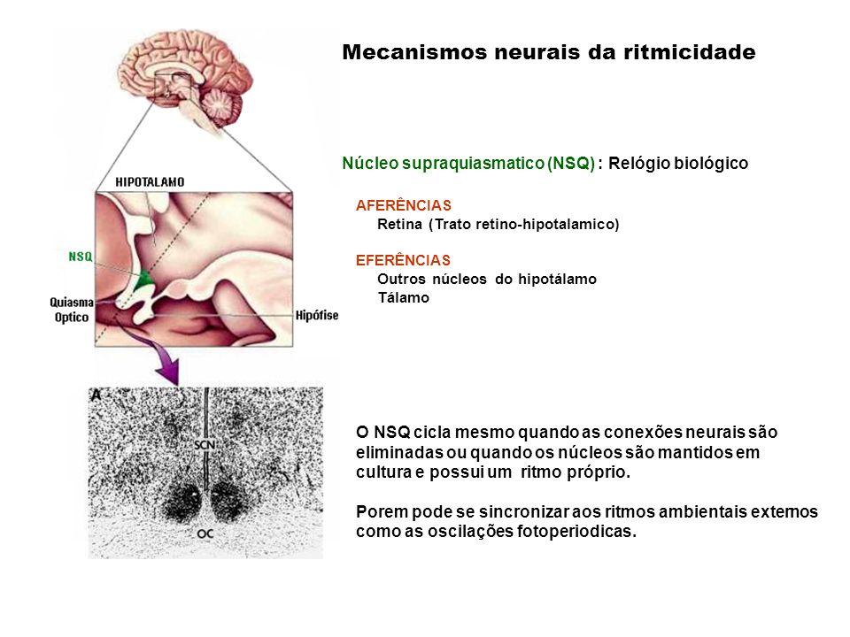 AFERÊNCIAS Retina (Trato retino-hipotalamico) EFERÊNCIAS Outros núcleos do hipotálamo Tálamo Mecanismos neurais da ritmicidade Núcleo supraquiasmatico